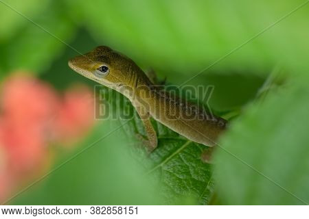 A Juvenile Carolina Anole Or Green Anole Pauses To Look Up. Raleigh, North Carolina.