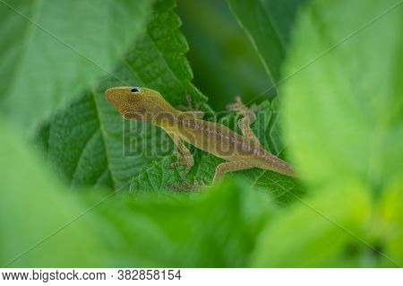 Top View Of A Juvenile Carolina Anole Or Green Anole Raleigh, North Carolina.