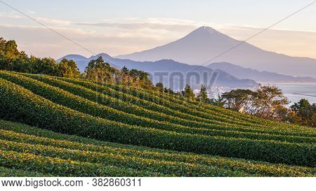 Green Tea Plantation With Backgound Of Fuji Mountain With Sun Light In The Morning At Nihondaira, Sh