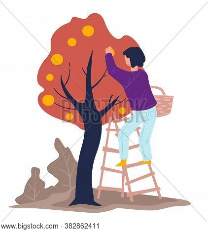 Harvesting Season, Woman Gathering Apples From Tree In Garden