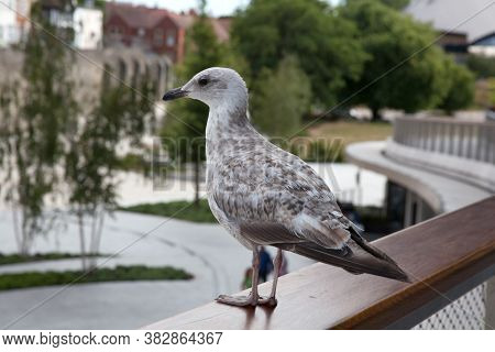 A Young Herring Gull At West Quay In Southampton In The Uk, Taken On The 10th July 2020