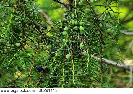 Twig Of Common Juniper With Blue Berries.the Juniper Bush Closeup.