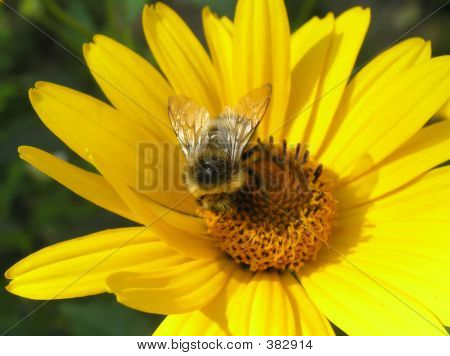 Bee At Work On A Yellow Flower_2