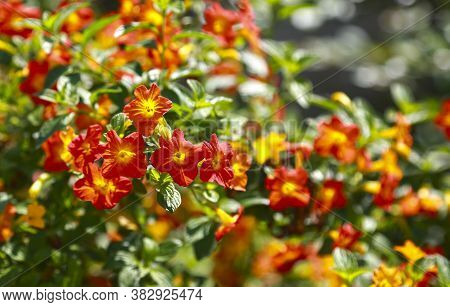 Tropical Plant With Red Flowers Impatiens Neuguinea, Also Known As Jewelweed, Touch-me-not, Snapweed