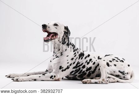 Dalmatian Dog Sitting And Facing Upwards Isolated With White Background