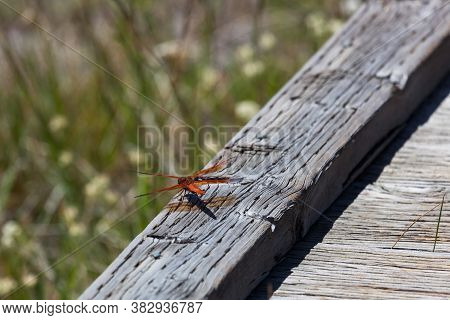 A Red Flame Skimmer Dragonfly Lands On A Wooden Boardwalk For A Rest At Yellowstone National Park, W