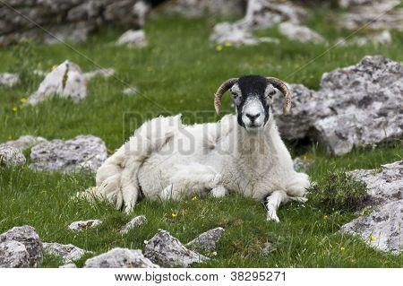 Sheep Sitting Amongst Stones
