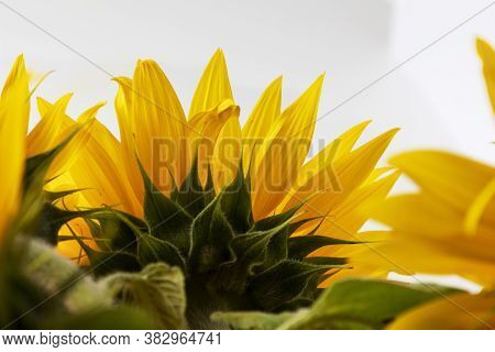 Back Yellow Beautifal Sunflower Isolate On White Background