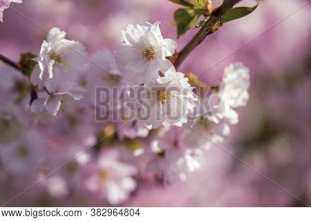 Pink Cherry Blossom. Sakura Power Flowers. Sakura Bloom, Close Up. Pink Cherry Blossoming Flowers, B