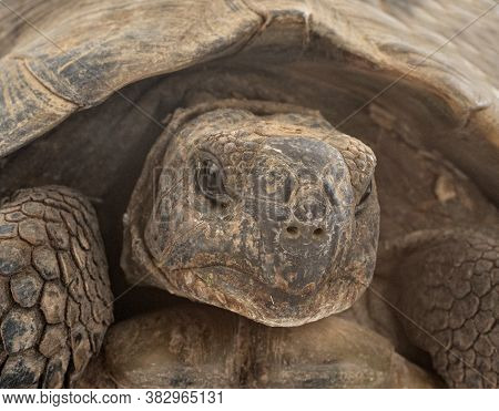 Greek Tortoise In Studio, Portrait And Close Up