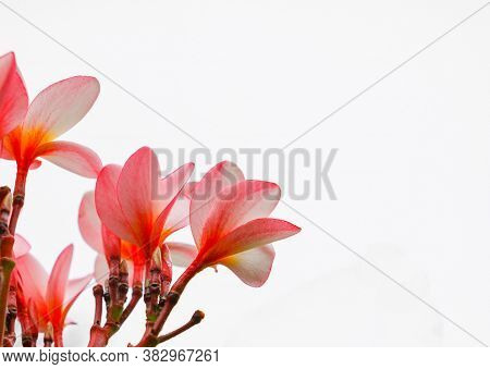 Plumeria Flowers Beautiful Pink Frangipani On White Background