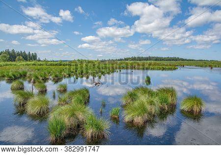 Purple Moor Grass (molinia Caerulea),hautes Fagnes (high Fens Moor),belgium