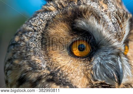Eagle Owl ( Asio Otus) Close Up Portrait Shot On A Bright Sunny Day.