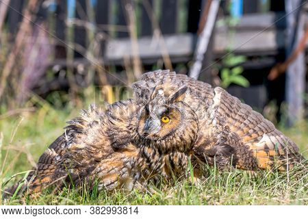 Eagle Owl ( Asio Otus) With Broken Wings In The Garden On A Bright Sunny Day.