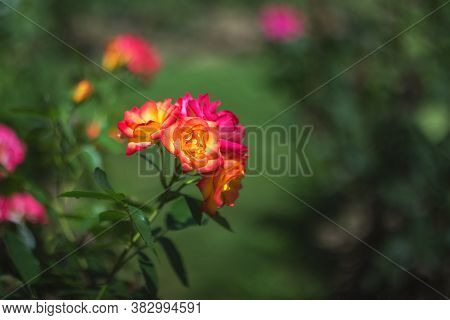 In The Garden There Is A Rose Bush With Yellow And Pink Flowers (tea Rose, Rosa Odorata). Selective