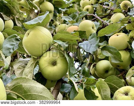 Green Ripe Apples On The Tree. Many Fruits Of Fruit Trees. A Large Harvest Of Apples On The Branches