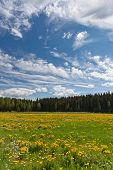Dandelion field on a egde of a dense pinetree forest poster