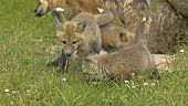 Red fox pups near their den in Northern Minnesota poster