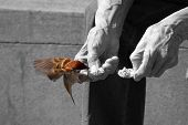 Colored sparrow eats from the hands of an elderly man (black and white) poster