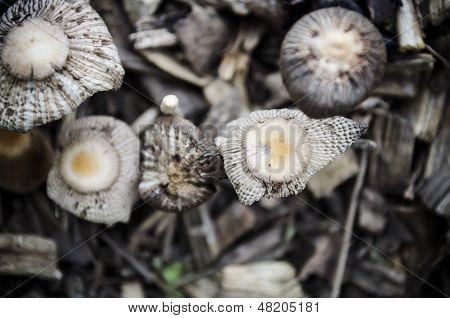ink cap mushroom (Coprinopsis atramentaria) in detail poster