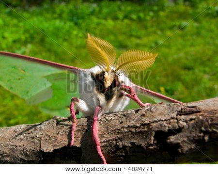 Night Butterfly (actias Artemis)
