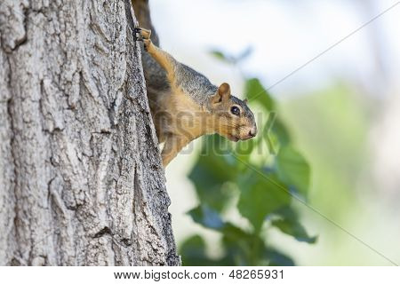 Gray Squirrel Sitting On The Tree