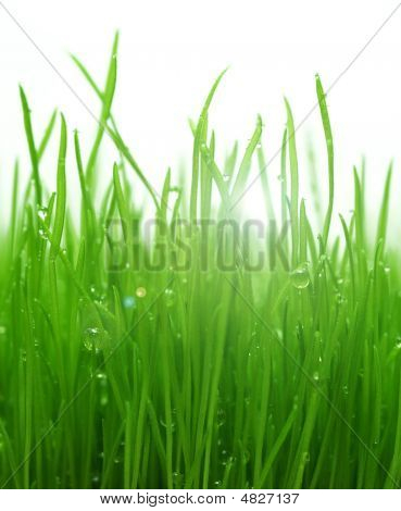 Green Gras After A Morning Rain