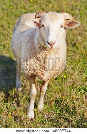 Young Ram Munching On Grass