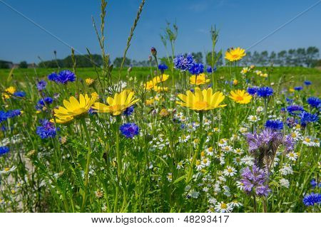 Colorful field with blue and yellow wild flowers