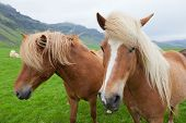 Two nice Icelandic horses with chestnut hair coat walking in a icelandic summer  countryside. poster