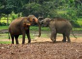Two Sri Lankan Elephants touching their trunks poster