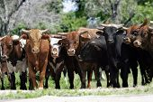a line of young bulls blocks access to a country road - can also represent financial bull market themes (shallow focus). poster
