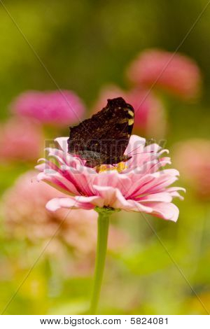 butterfly makhaon sits on the flower of marguerite
