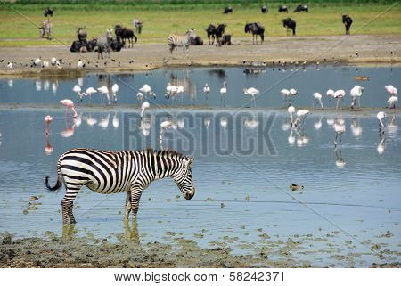 A zebra nearby lake in Ngorongoro crater poster
