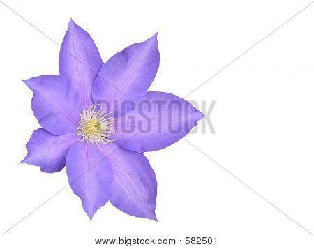 Large Lavendar Flower Over White