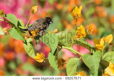 Bronze Mannikin With Colourful Bourganvillia Flowers