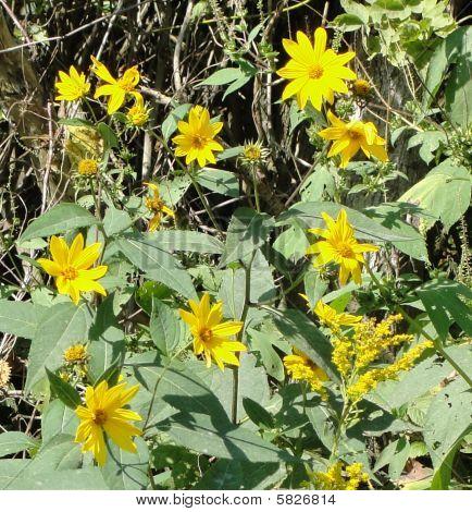 A Field of Black-eyed Susie Wildflowers