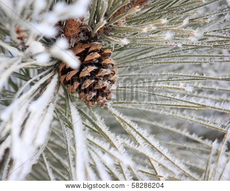 Frosty Norway Pine Cone