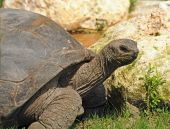 Side view of giant land tortoise slowly walking poster