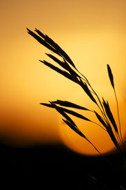 Grass Silhouette at Sunset