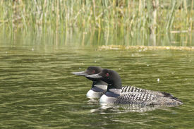 Common Loon Couple