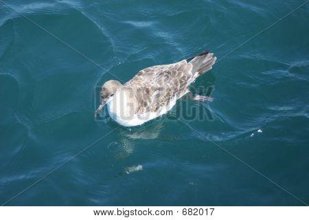 Seagull Swimming Along