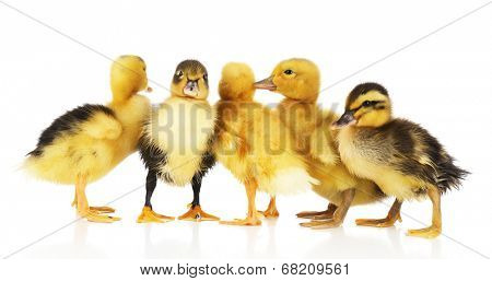 Little cute ducklings isolated on white