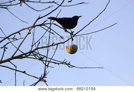 blackbird in bare brunches with an apple