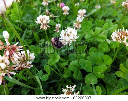 Overgrown Meadow Young  Clover
