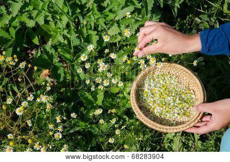 Herbalist Hand Pick Camomile Herbal Flower Blooms