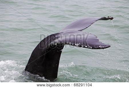 Humpback Whale (megaptera Novaeangliae) Seen From The Boat Near Husavik