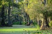 Long shadows engulf swamp scene with spanish moss hanging from forest of cypress trees on edge of algae-covered bayou and Great Blue Heron is like a statue awaiting careless fish. poster