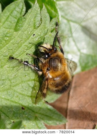Hairy Footed Bee