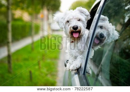 adorable maltese puppy looking out the car window